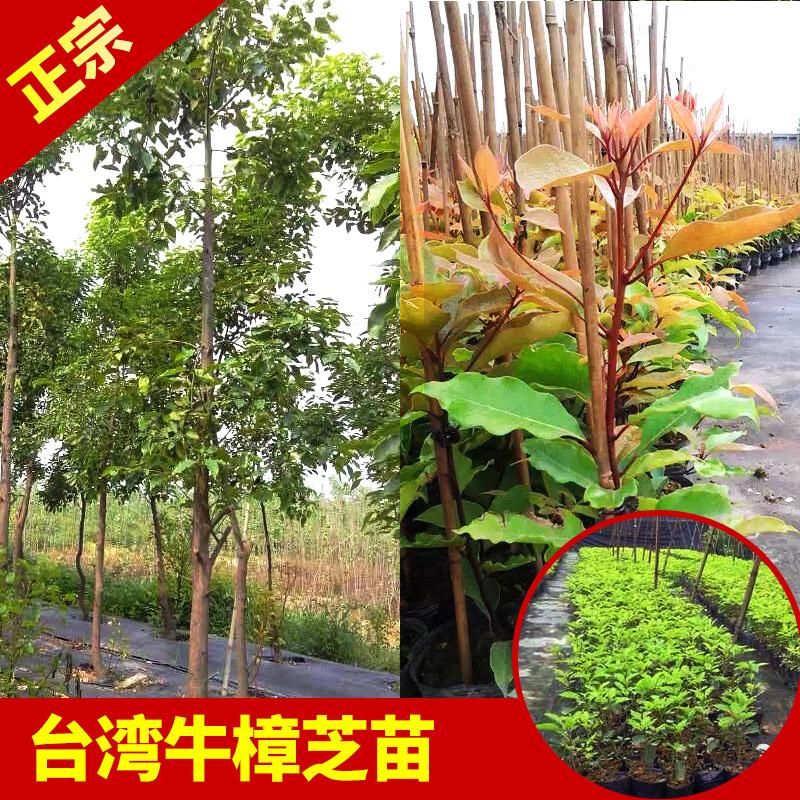 <b>正宗台湾牛樟树苗大量供应</b>