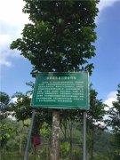 园区用来采摘沉香种子的沉香树
