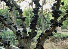 树葡萄结果后怎么吃 吃起来味道