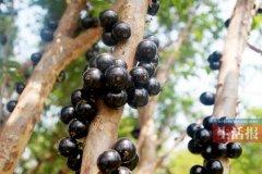 """""""土豪果""""树葡萄成水果品种的异"""