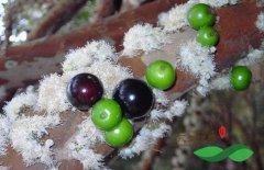 树葡萄种植在安徽落地 市民能吃