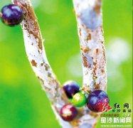 一年能长5次果?树葡萄这么神奇