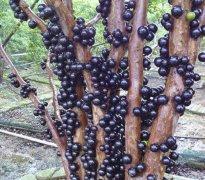 树葡萄丨更想甜在你心里