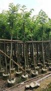 海南黄花梨树袋苗,绿化类名贵树
