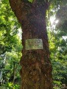 黄花梨老树,降香黄檀名贵树