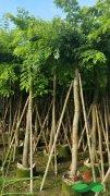 常年供应:6-8公分海南黄花梨袋苗