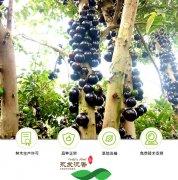 """巴西水果""""树葡萄""""在南安翔云第"""