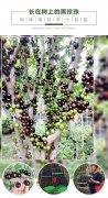 台湾嘉宝果的繁育方式有几种?