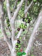树葡萄树苗种植成为家庭农场的必