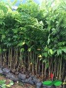 海南黄花梨1米规格,最好成活种